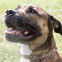 Boxer Mix Dog for adoption in Sarasota, Florida - Josie