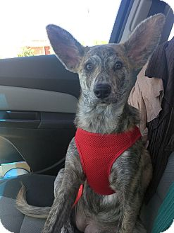 Catahoula Leopard Dog Mix Puppy for adoption in Mesa, Arizona - TILA - 5 MONTH CATAHOULA FEMAL
