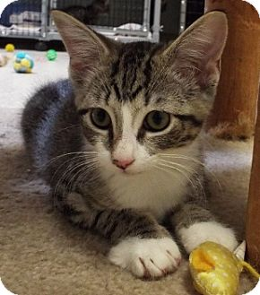 Domestic Shorthair Kitten for adoption in Grants Pass, Oregon - Reggie