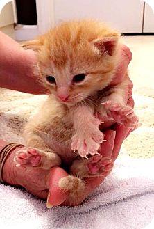 Domestic Shorthair Kitten for adoption in Fort Leavenworth, Kansas - Dynamite-pending adoption