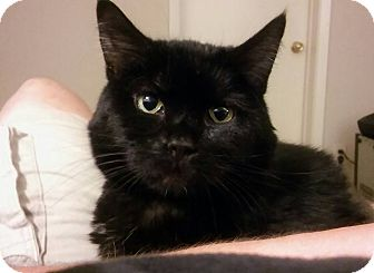 Domestic Shorthair Cat for adoption in Des Moines, Iowa - Piper