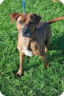 Plott Hound Mix Dog for adoption in Berea, Ohio - Duke