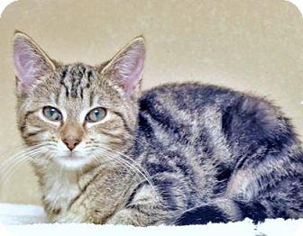 Domestic Mediumhair Kitten for adoption in Lincolnton, North Carolina - Pixie  $20