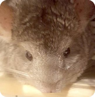 Chinchilla for adoption in Patchogue, New York - Lilly
