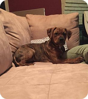 Boxer Mix Puppy for adoption in Westminster, Maryland - Runt