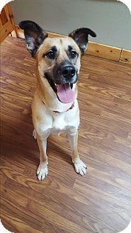 Anatolian Shepherd/Labrador Retriever Mix Dog for adoption in Colorado Springs, Colorado - Manny