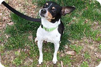 Rat Terrier Mix Dog for adoption in Lowell, Massachusetts - Kissa