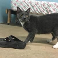 Domestic Shorthair/Domestic Shorthair Mix Cat for adoption in Metairie, Louisiana - Marty 2