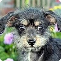 Adopt A Pet :: Baby Beau - Oakley, CA
