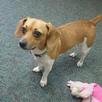 Adopt A Pet :: Suzie Q - Walpole, MA