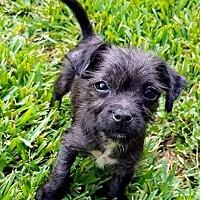 Adopt A Pet :: Jolene - Houston, TX