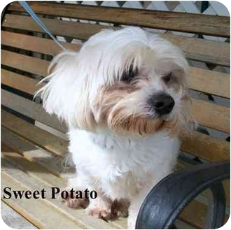 Maltese Mix Dog for adoption in Slidell, Louisiana - Sweet Potato
