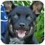 Photo 1 - Australian Cattle Dog/German Shepherd Dog Mix Puppy for adoption in Los Angeles, California - Cleopatra von Nacchio