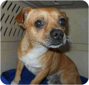 Chihuahua/Dachshund Mix Dog for adoption in San Clemente, California - TACO BELL