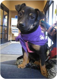 Dachshund/Terrier (Unknown Type, Small) Mix Puppy for adoption in San Diego, California - Chole