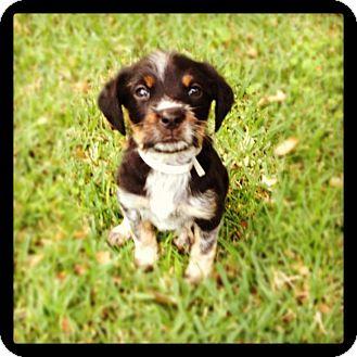 Bernese Mountain Dog/Rottweiler Mix Puppy for adoption in Torrance, California - FRIDA