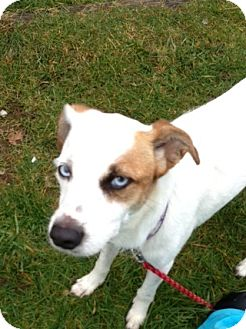 Jack Russell Terrier Mix Dog for adoption in Tumwater, Washington - Chanelle