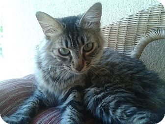 Maine Coon Cat for adoption in Escondido, California - Shayna