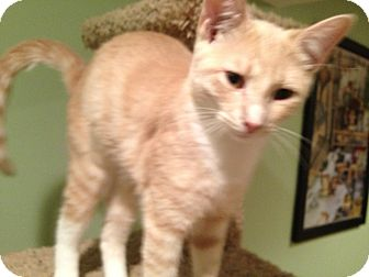 Domestic Shorthair Kitten for adoption in East Hanover, New Jersey - Colby
