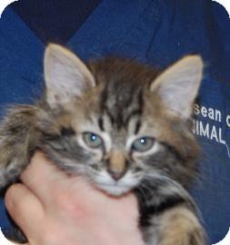 Domestic Shorthair Kitten for adoption in Brooklyn, New York - Peachie