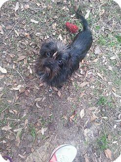 Brussels Griffon Mix Dog for adoption in Sugar Land, Texas - Yogi