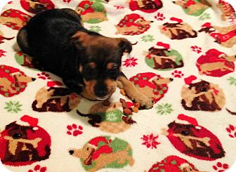 Labrador Retriever/Boxer Mix Puppy for adoption in Kittery, Maine - Molly