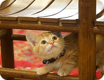 Domestic Shorthair Kitten for adoption in Nashville, Tennessee - Gilligan
