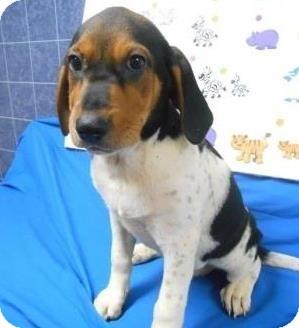 Coonhound (Unknown Type)/Hound (Unknown Type) Mix Puppy for adoption in Bartonsville, Pennsylvania - Cora