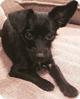 Dachshund/Terrier (Unknown Type, Small) Mix Dog for adoption in Boulder, Colorado - Bambi - ADOPTION PENDING