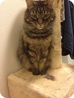 Domestic Mediumhair Cat for adoption in Novato, California - Toothless and Charcoal