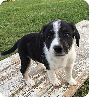 Australian Shepherd/Great Pyrenees Mix Puppy for adoption in Russellville, Kentucky - June