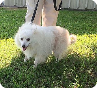 Eskimo Spitz Mix Dog for adoption in Rochester, New York - Fifi