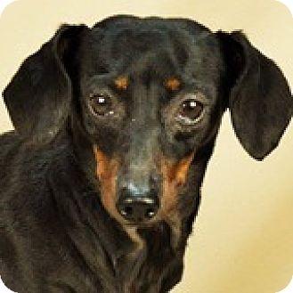 Dachshund Dog for adoption in Houston, Texas - Leighann Libra