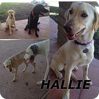 Labrador Retriever Puppy for adoption in Phoenix, Arizona - Hallie