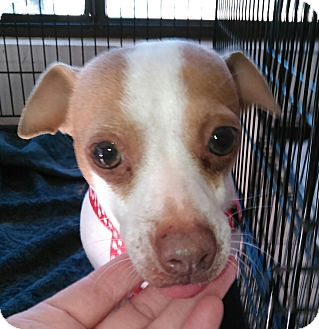 Chihuahua/Jack Russell Terrier Mix Dog for adoption in Daleville, Alabama - Rose