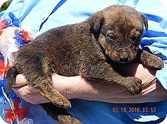 Rottweiler/Shepherd (Unknown Type) Mix Puppy for adoption in West Sand Lake, New York - Nugget (6 lb)