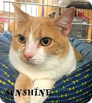 Domestic Shorthair Cat for adoption in Mooresville, North Carolina - SUNSHINE I will be your friend and companion if you take me home.