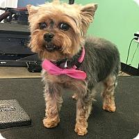 Adopt A Pet :: Sasha Fierce - Owensboro, KY