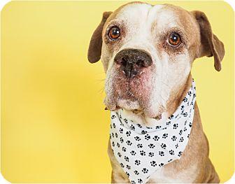 Boxer/Labrador Retriever Mix Dog for adoption in Phoenix, Arizona - Norm