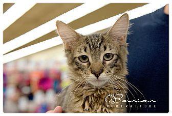 Domestic Mediumhair Kitten for adoption in Baytown, Texas - Felix