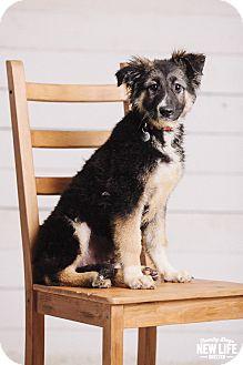 German Shepherd Dog/Australian Shepherd Mix Puppy for adoption in Portland, Oregon - Willow