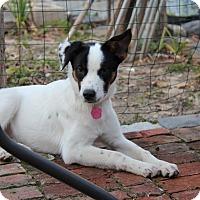 Adopt A Pet :: Clara - Shrewsbury, NJ