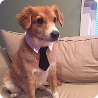 Collie/Cocker Spaniel Mix Dog for adoption in Silver Spring, Maryland - Ace