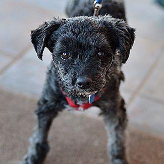 Poodle (Miniature) Dog for adoption in Kanab, Utah - Harriet