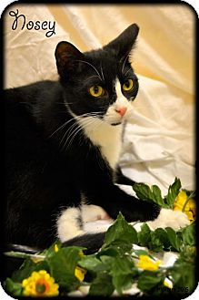 Domestic Shorthair Cat for adoption in Oviedo, Florida - Nosey the Handsome Tuxedo