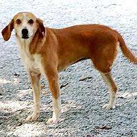 Hound (Unknown Type) Mix Dog for adoption in Durham, North Carolina - Belle
