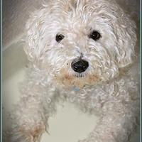 Adopt A Pet :: MICKEY - Frederick, MD