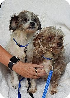 """Terrier (Unknown Type, Small)/Poodle (Miniature) Mix Dog for adoption in West Sand Lake, New York - Opie & Andy """"Lil' Sweeties!"""""""