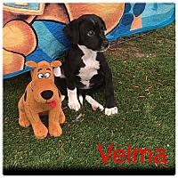 Adopt A Pet :: CO/Velma - Seattle, WA