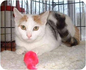 Domestic Shorthair Kitten for adoption in Honesdale, Pennsylvania - Mustard